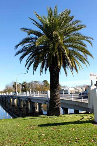 Benalla bridge and palm tree